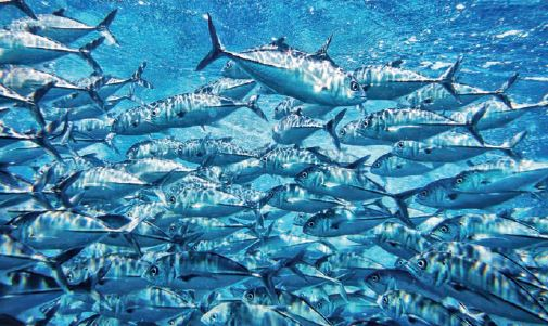 Fischöl: Auch für Muskeln gut